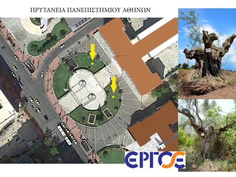 Μεταφύτευση Αιωνόβιων Ελαιοδέντρων | vita.gr