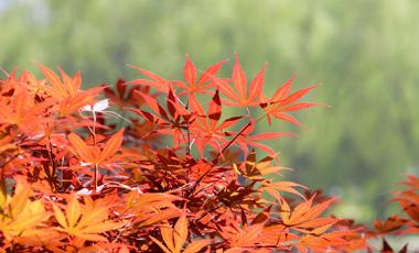 Γιατί τα φύλλα κοκκινίζουν το φθινόπωρο; | vita.gr