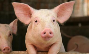Βλαστοκύτταρα από γουρούνια | vita.gr