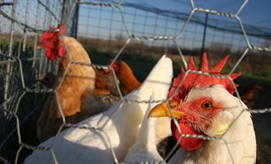 Kύτταρα πιθήκου <br>για τη γρίπη των πτηνών | vita.gr