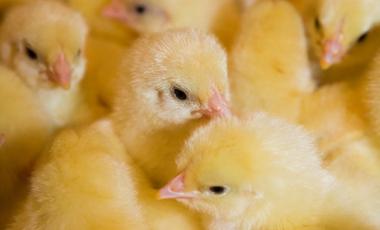 Το σούπερ-κοτόπουλο έρχεται! | vita.gr