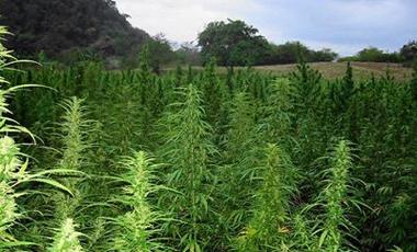 Βιομηχανική παραγωγή μαριχουάνας | vita.gr