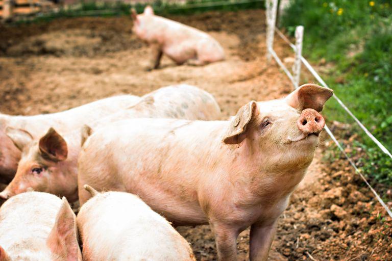 Επικό γέλιο: Γουρούνι κυνηγάει on air ρεπόρτερ του Παπαδάκη | vita.gr