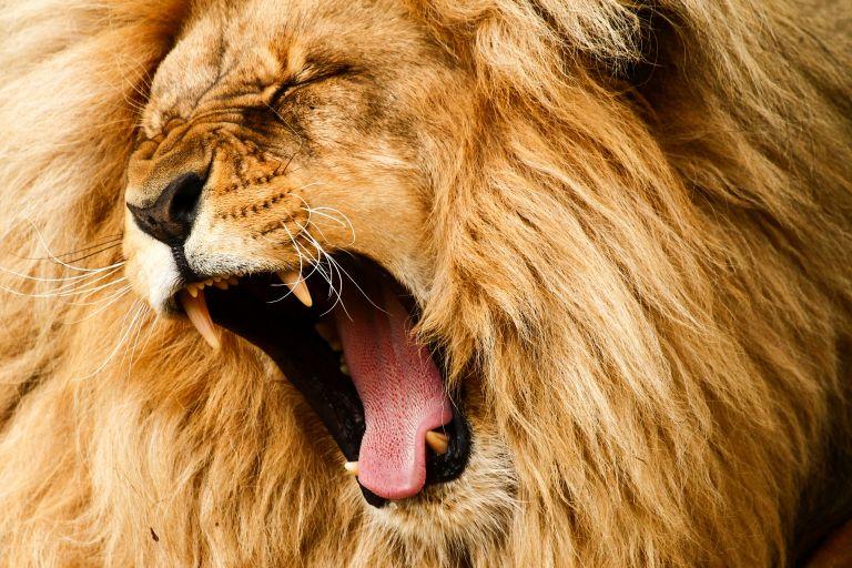 Έχετε αναρωτηθεί πώς φτερνίζονται… τα λιοντάρια; | vita.gr