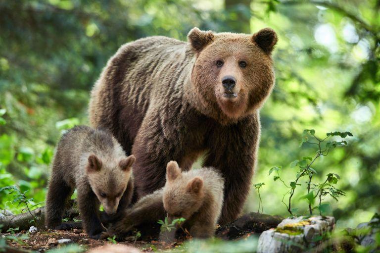 Ρωσία: Αρκούδα πέφτει πάνω σε αυτοκίνητο για να προστατέψει το παιδί της | vita.gr