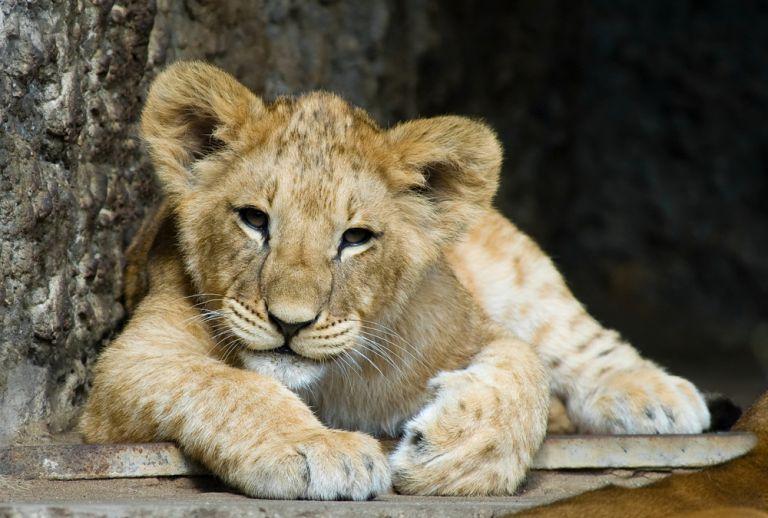 Φρίκη: Έσπασαν τα πόδια σε λιονταράκι για να φωτογραφίζονται δίπλα του οι τουρίστες | vita.gr