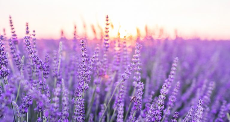 Λεβάντα: Το μοβ ελιξήριο της υγείας και της νεότητας | vita.gr
